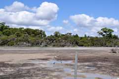 Market Garden Swamp: Thirsty. Drought in the Market Garden Swamp wetland reserve in Spearwood, Western Australia with two grey herons and an Australian Ibis Stock Image