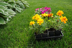 Market pack of Marigolds and Impatiens Royalty Free Stock Image
