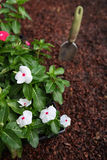 Market pack of Vinca waiting to be planted Royalty Free Stock Image