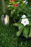 Market pack of Vinca waiting to be planted Stock Image