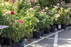 The market of plants for gardening and landscape design, roses seedlings royalty free stock photos