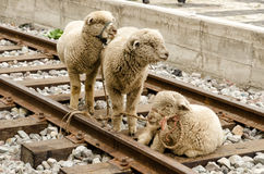 Market in South America. Sheeps on a market in South America Royalty Free Stock Photos