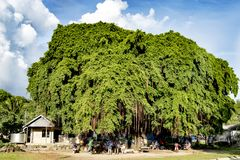 Market under really huge tropical tree, Tulagi, Solomon Islands Royalty Free Stock Image