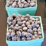 Markham blueberry 2016 Royalty Free Stock Photo