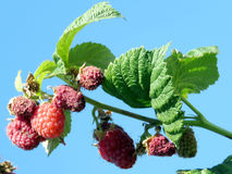 Markham raspberry branch 2016 Royalty Free Stock Photo