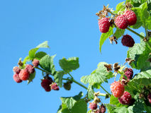 Markham raspberry branchs 2016 Royalty Free Stock Photos