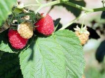 Markham the raspberry bush 2016 Stock Photos