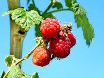 Markham raspberry bush 2016 Stock Photo