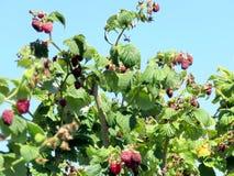 Markham raspberry bushs 2016 Stock Photos