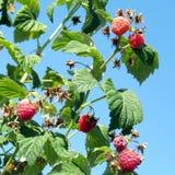 Markham the raspberry bushs 2016 Royalty Free Stock Photo