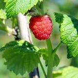 Markham raspberry isolated 2016 Stock Photography