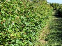 Markham raspberry plantation 2016 Royalty Free Stock Photography