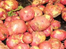 Markham red potatoes 2016 Stock Images