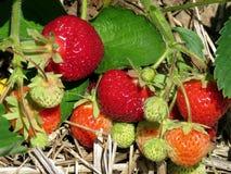 Markham strawberry branch 2017 Stock Photography