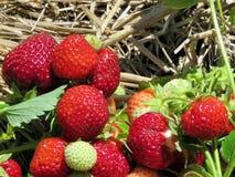 Markham the strawberry branchs 2017 Stock Image