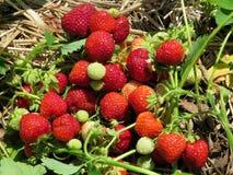 Markham strawberry branchs 2017 Stock Image