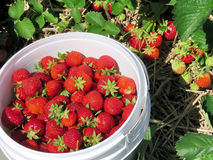 Markham strawberry in the bucket 2017 Stock Photography