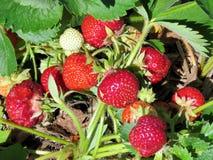 Markham strawberry bush 2017 Royalty Free Stock Photo