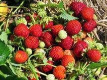 Markham strawberry bushs 2017 Stock Image