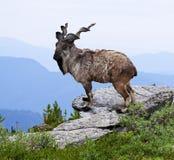 Markhoor op wildnessgebied Royalty-vrije Stock Foto's