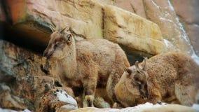 Markhoor Screw horned goat. Horned goa Markhoort in the mountains stock video