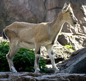 Markhor 1 Stock Photo