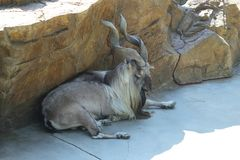 Markhor Images stock