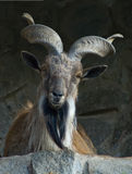 Markhor Royalty Free Stock Photo
