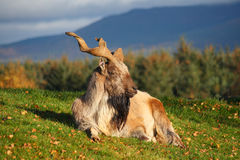 Markhor Royalty Free Stock Image