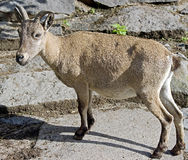 Markhor 2 Royalty Free Stock Photos