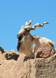 Markhor Stock Photography