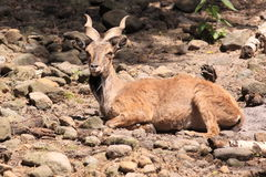 Markhor. The lying markhor on the rocky slope Royalty Free Stock Photos