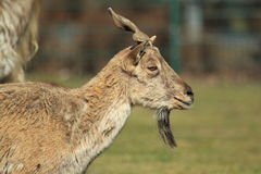 Markhor Stock Photos