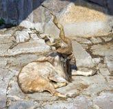 Markhor artiodactyl  mammal Bovid rocky-mountain goat Stock Image