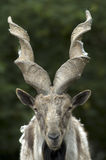 Markhor [Capra falconeri] Stock Photo