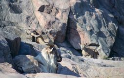 The Markhor Capra Falconeri. Resting on a cliff Stock Images