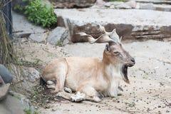 Markhor dans le zoo de Moscou images libres de droits