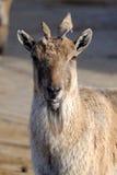 Markhor de Tadjik (falconeri da cabra) imagem de stock