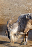 Markhor di Tadjik (falconeri della capra) Fotografie Stock