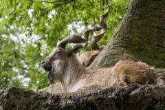 Markhor die op een rots rusten Stock Afbeelding