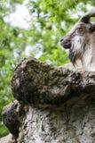 Markhor die op een rots rusten Royalty-vrije Stock Fotografie