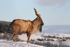 Markhor goat Royalty Free Stock Photos