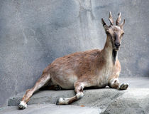 Markhor Goat Royalty Free Stock Images