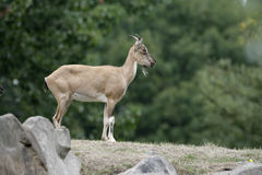 Markhor goat, Capra falconeri Royalty Free Stock Images