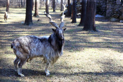Markhor goat closeup Royalty Free Stock Image