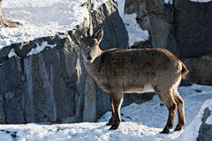 Markhor goat in the snow Royalty Free Stock Image