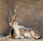 Markhor Goat with Twisted Horns. A Markhor goat with dramatic twisted horns rests in the shade Stock Image