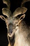Markhor goat Stock Photography