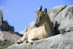 markhor Royalty Free Stock Photos