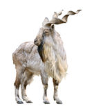 Markhor male (Capra falconeri) cutout Stock Photography